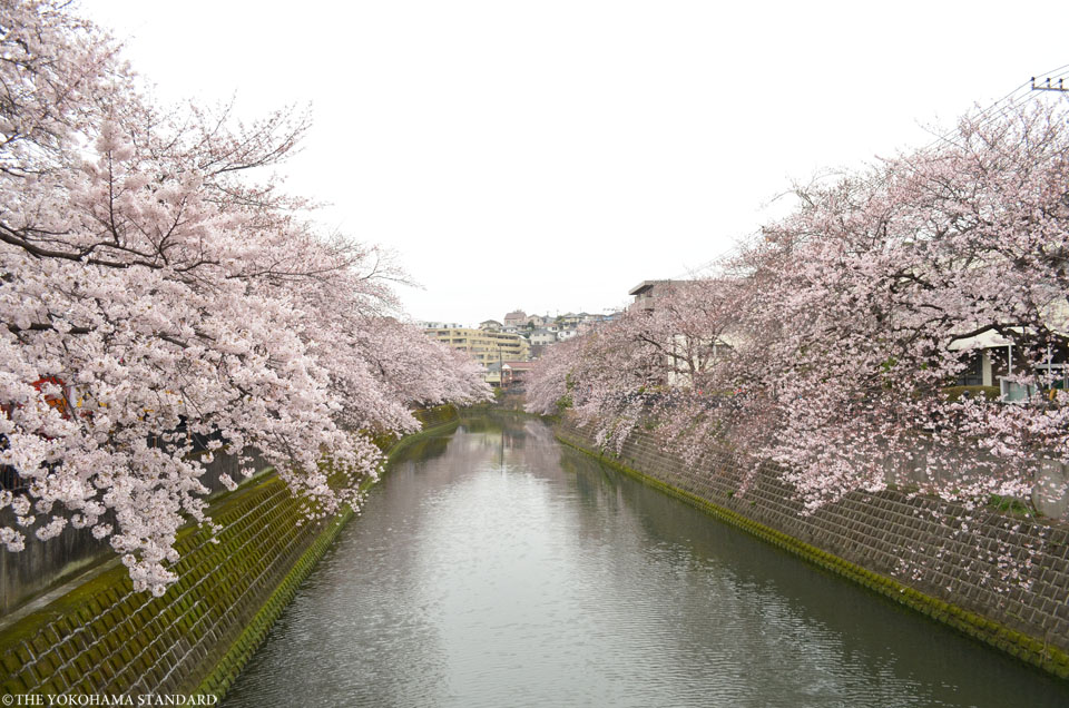 2016大岡川の桜6-THE YOKOHAMA STANDARD