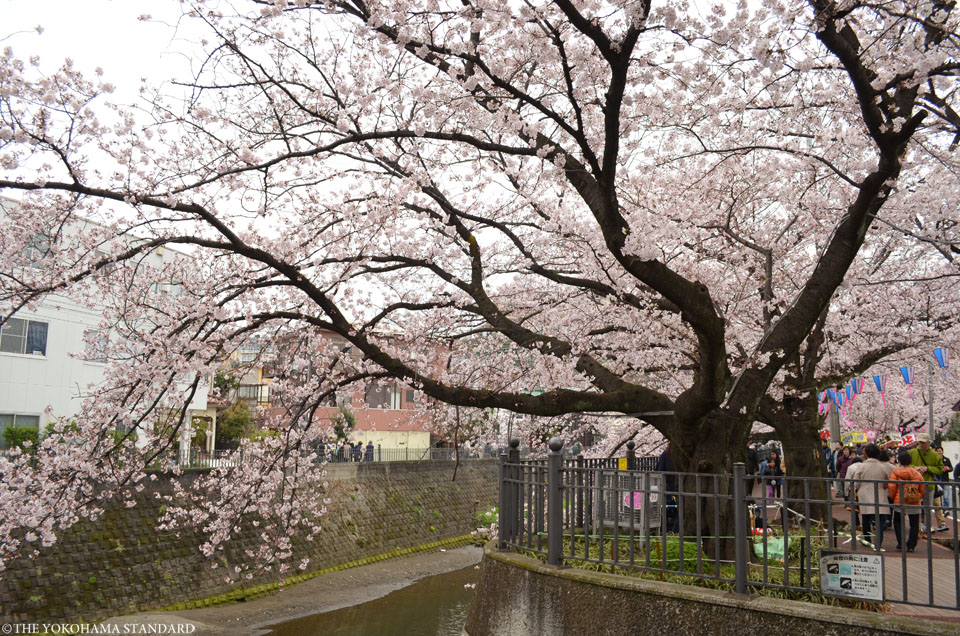 2016大岡川の桜3-THE YOKOHAMA STANDARD