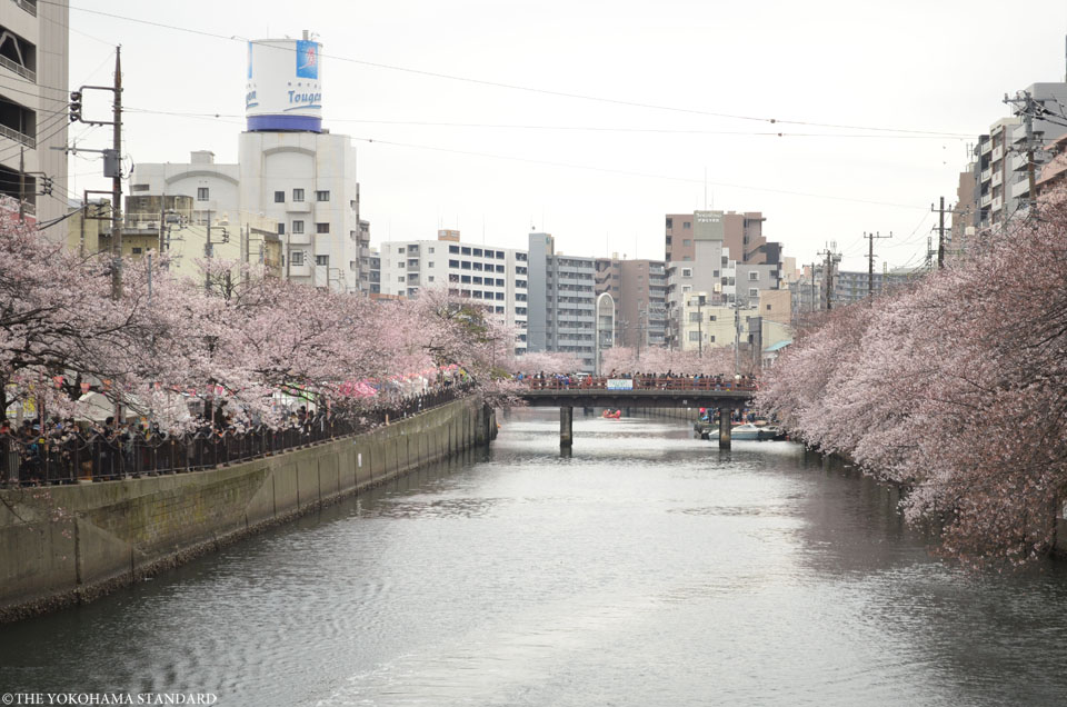 2016大岡川の桜8-THE YOKOHAMA STANDARD