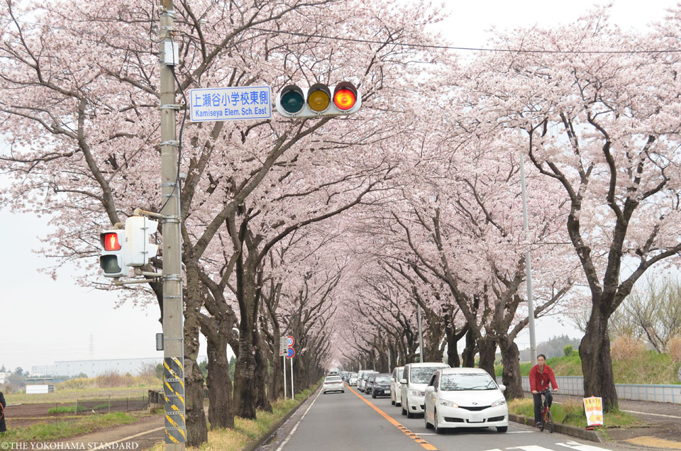 2016海軍道路の桜4-THE YOKOHAMA STANDARD