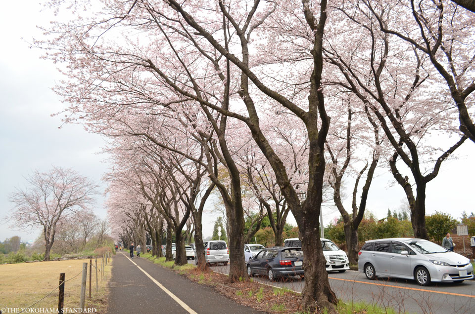 2016海軍道路の桜2-THE YOKOHAMA STANDARD