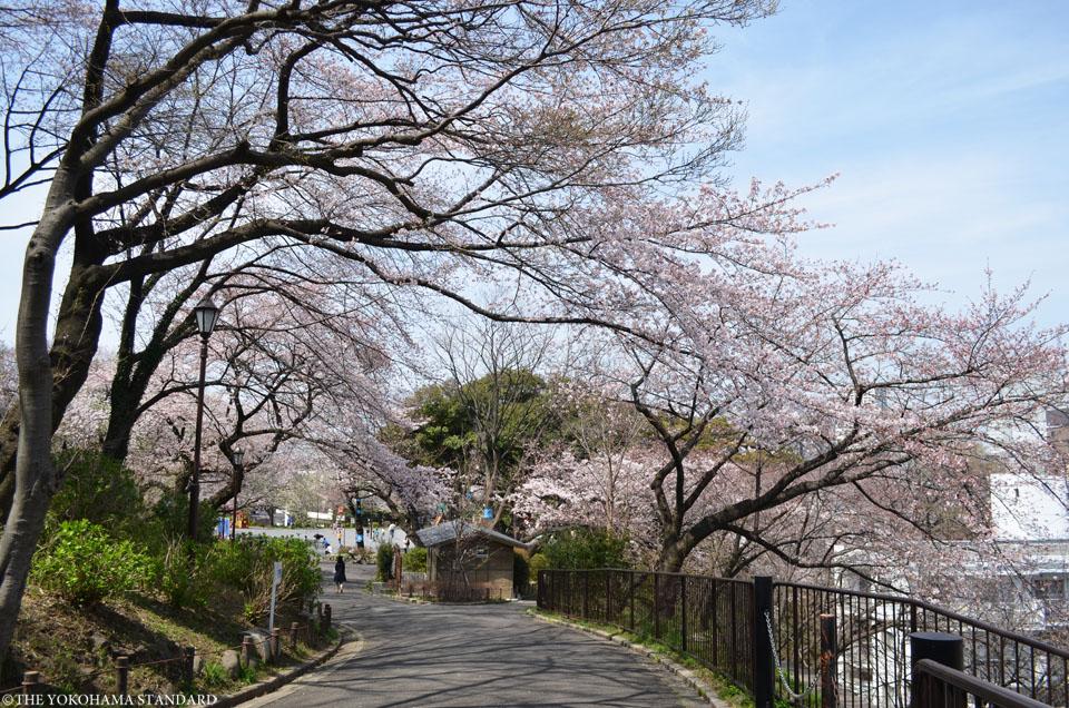 2016掃部山公園の桜7-THE YOKOHAMA STANDARD