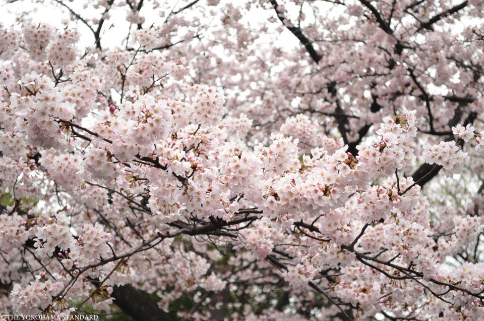 2016三ツ池公園の桜4-THE YOKOHAMA STANDARD
