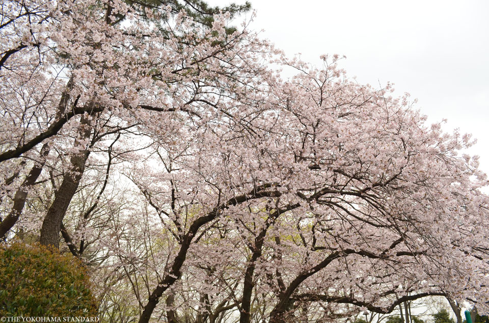 2016三ツ沢公園の桜1-THE YOKOHAMA STANDARD
