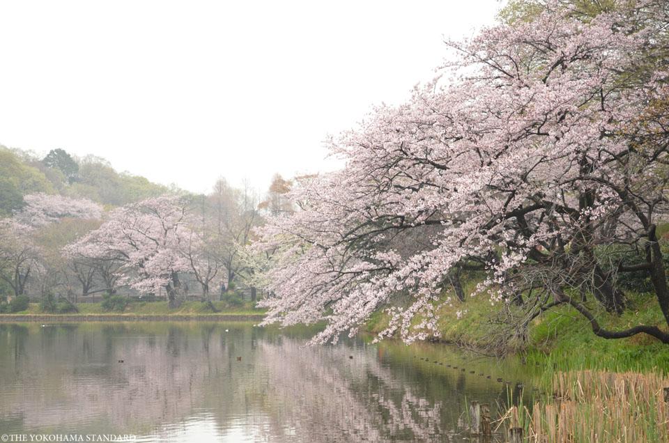 2016三ツ池公園の桜9-THE YOKOHAMA STANDARD