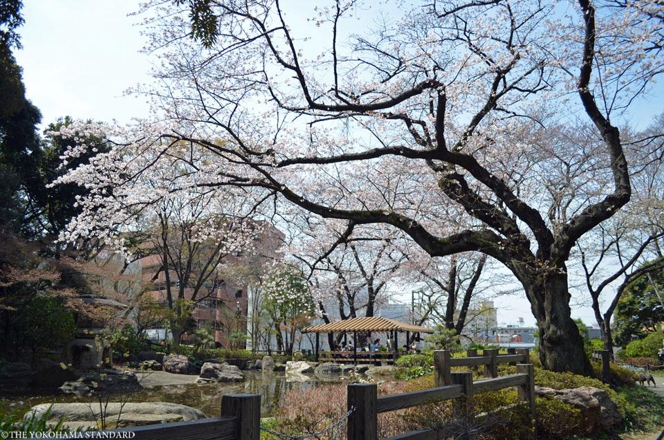 2016掃部山公園の桜4-THE YOKOHAMA STANDARD
