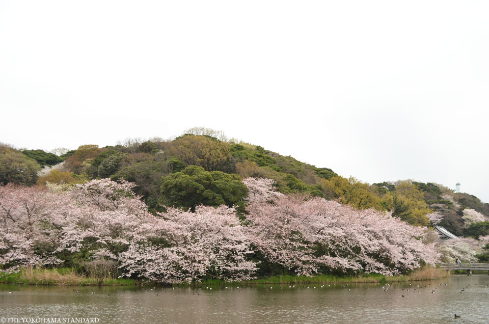 三溪園の桜20164-THE YOKOHAMA STANDARD