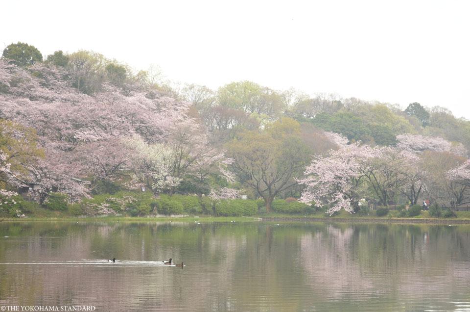 2016三ツ池公園の桜10-THE YOKOHAMA STANDARD