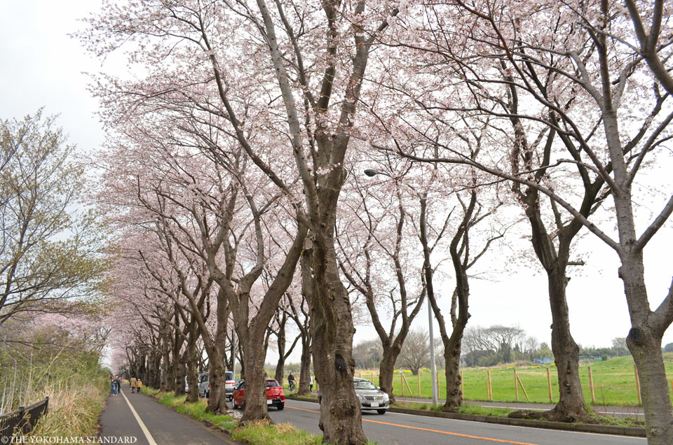 2016海軍道路の桜3-THE YOKOHAMA STANDARD