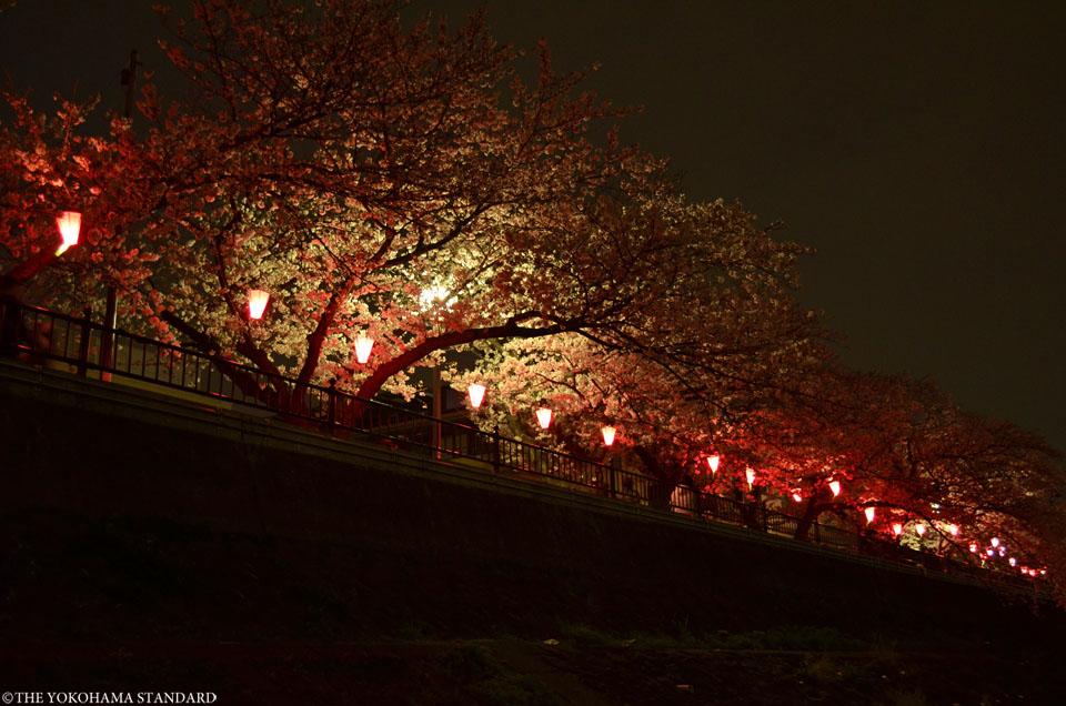 2016柏尾川の桜5-THE YOKOHAMA STANDARD