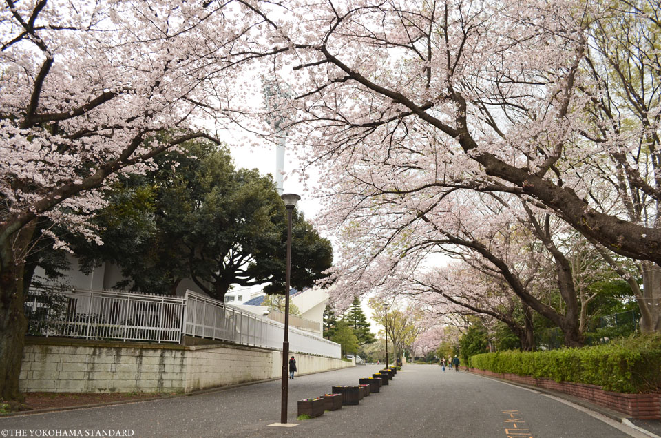 2016三ツ沢公園の桜7-THE YOKOHAMA STANDARD