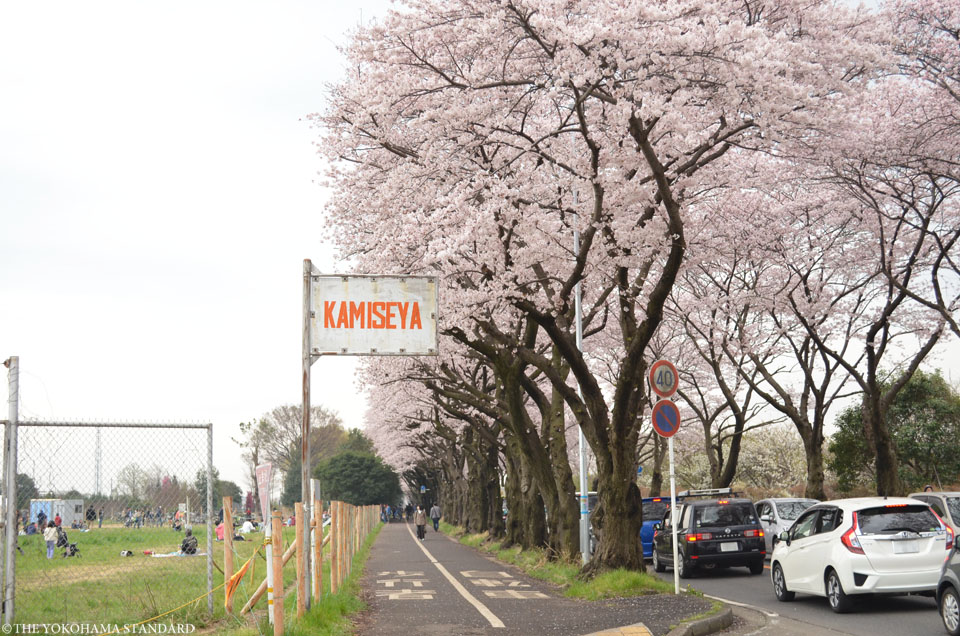 2016海軍道路の桜5-THE YOKOHAMA STANDARD
