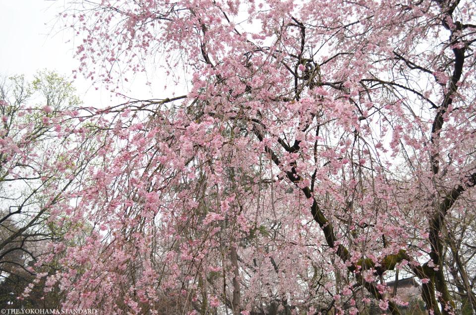 2016三ツ池公園の桜6-THE YOKOHAMA STANDARD
