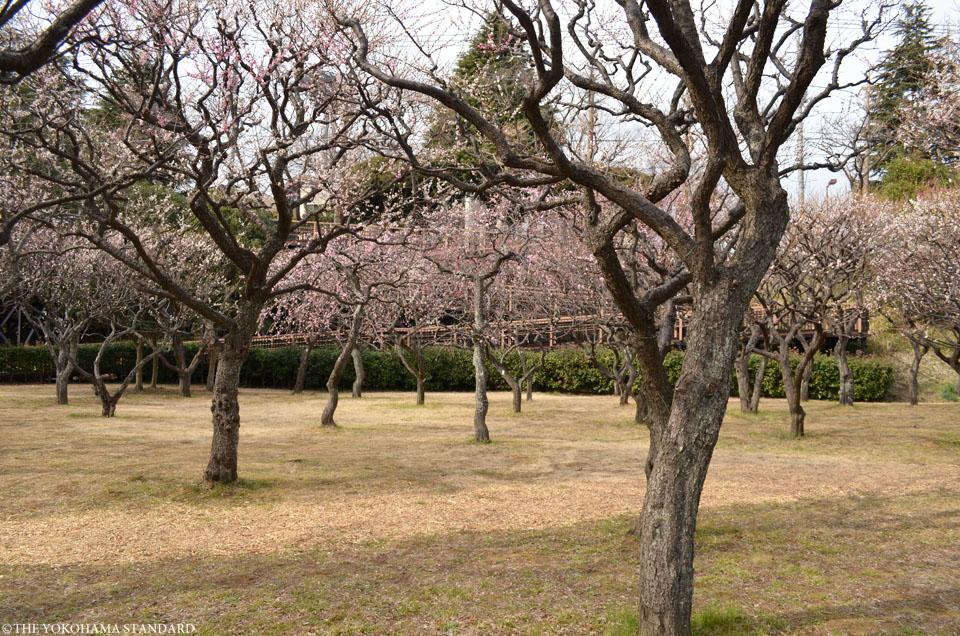 2017保土ヶ谷公園の梅2-THE YOKOHAMA STANDARD