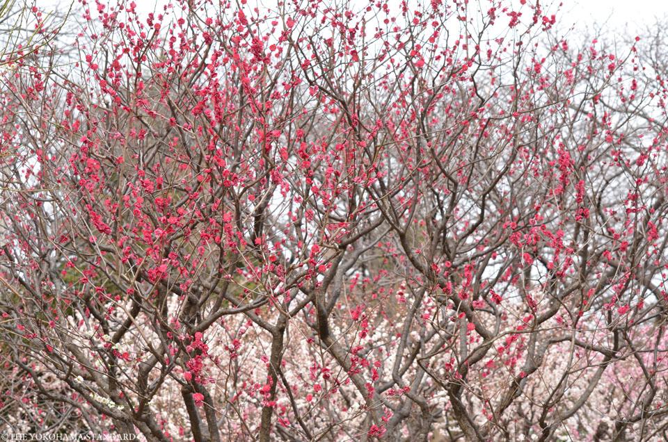 2017保土ヶ谷公園の梅8-THE YOKOHAMA STANDARD