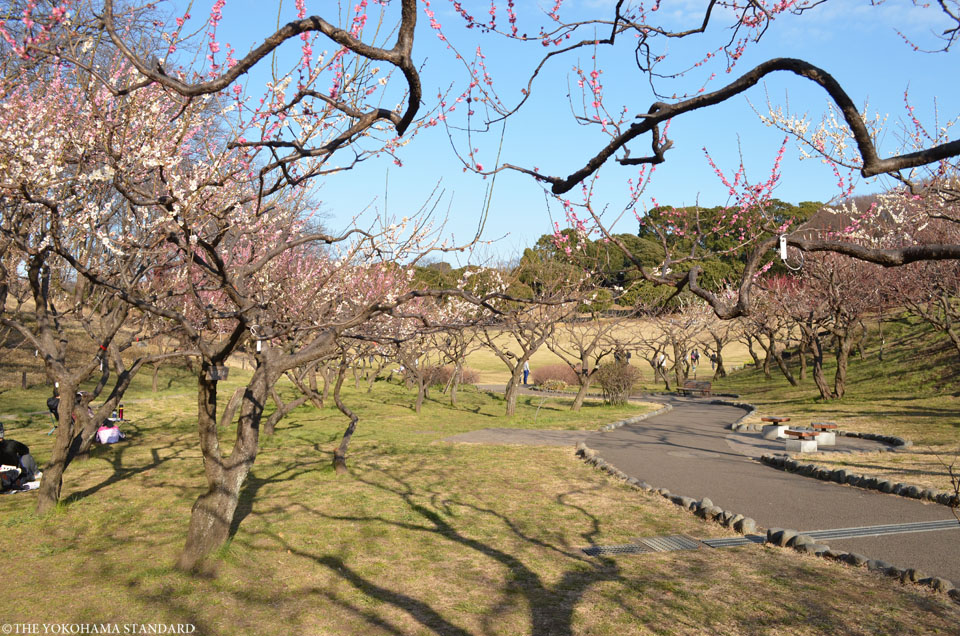 2017根岸森林公園の梅8-THE YOKOHAMA STANDARD