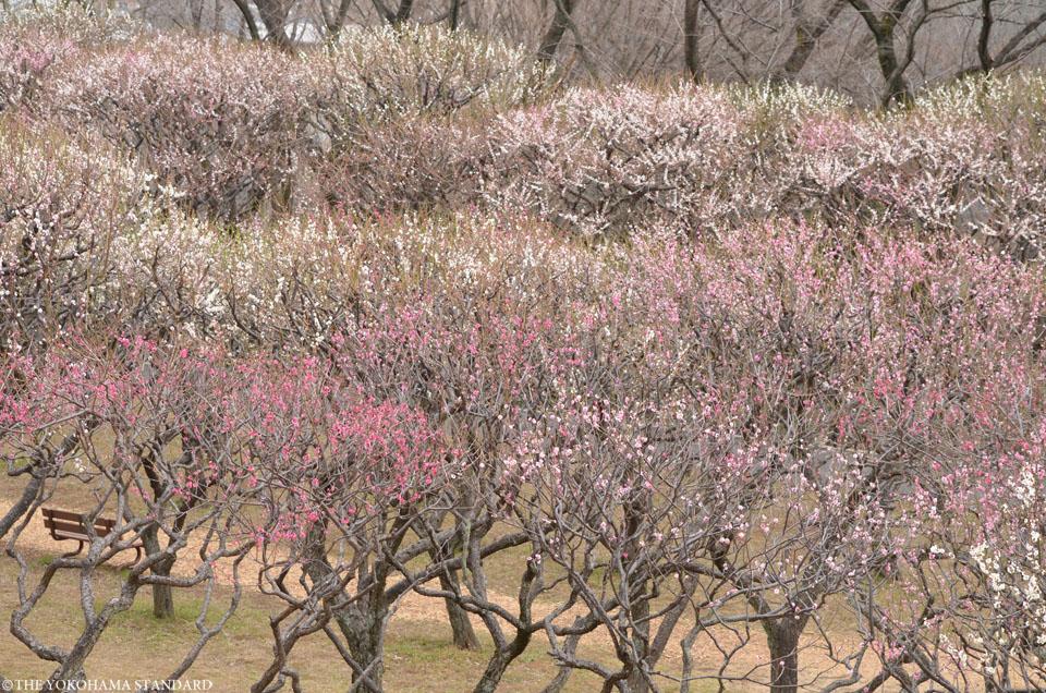 2017保土ヶ谷公園の梅12-THE YOKOHAMA STANDARD
