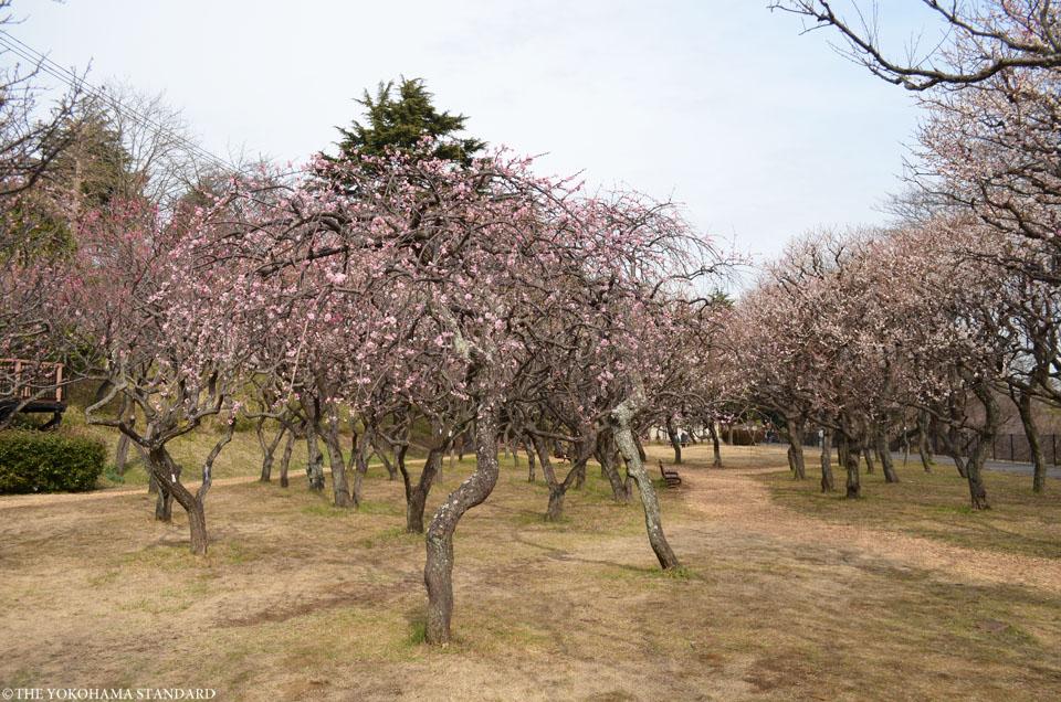 2017保土ヶ谷公園の梅3-THE YOKOHAMA STANDARD