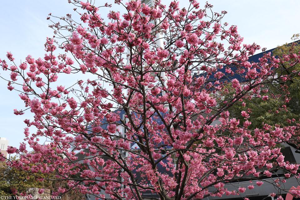 横浜公園の横浜緋桜3-THE YOKOHAMA STANDARD