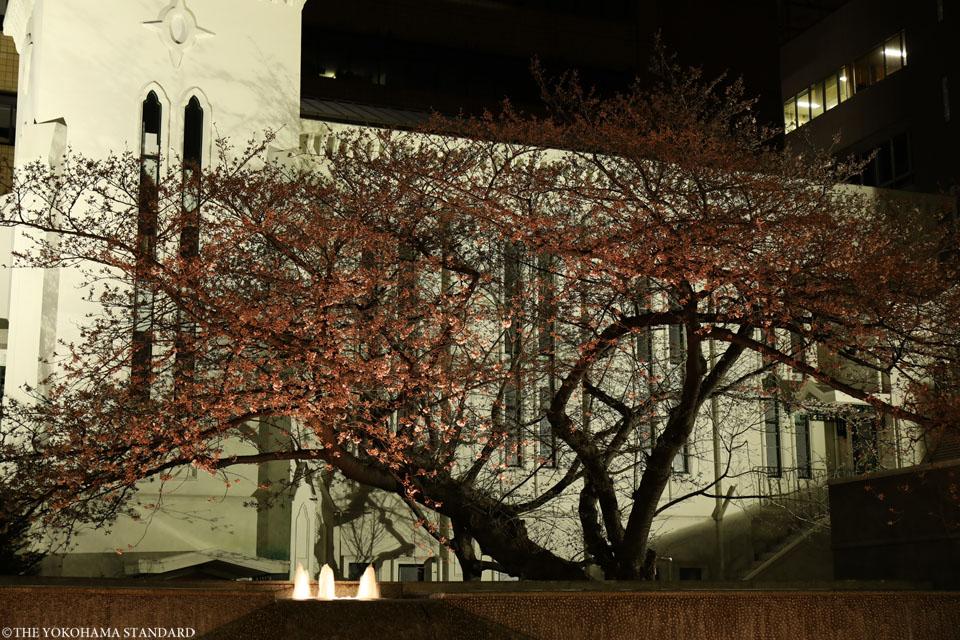 横浜海岸教会の夜桜1-THE YOKOHAMA STANDARD