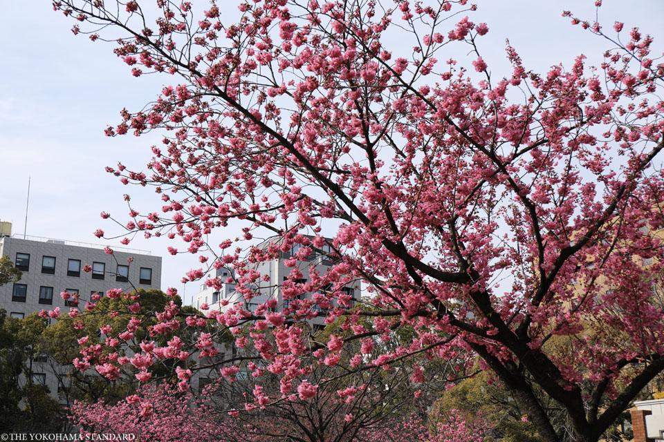 横浜公園の横浜緋桜2-THE YOKOHAMA STANDARD