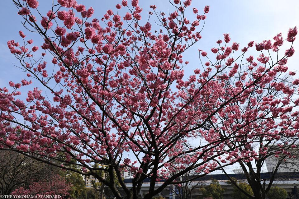 横浜公園の横浜緋桜1-THE YOKOHAMA STANDARD