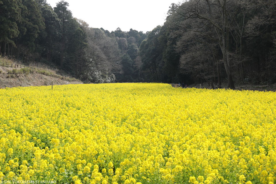 追分市民の森の菜の花5-THE YOKOHAMA STANDARD
