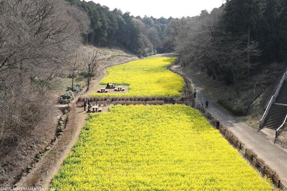 追分市民の森の菜の花1-THE YOKOHAMA STANDARD