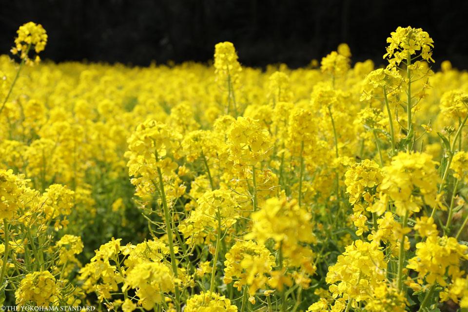 追分市民の森の菜の花4-THE YOKOHAMA STANDARD