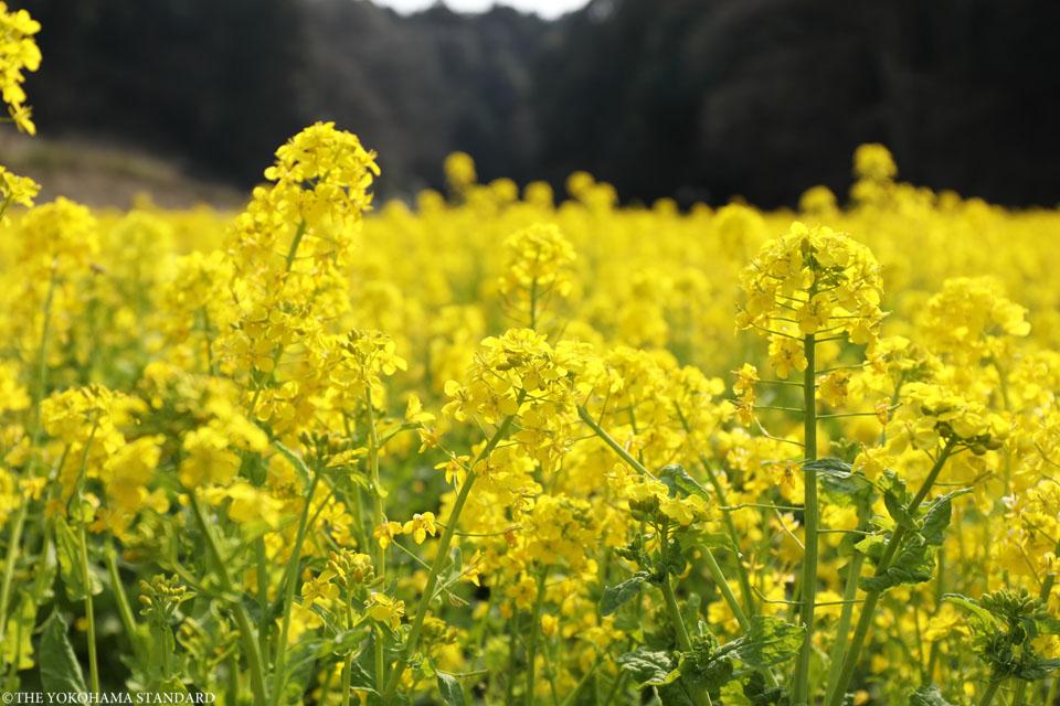 追分市民の森の菜の花6-THE YOKOHAMA STANDARD