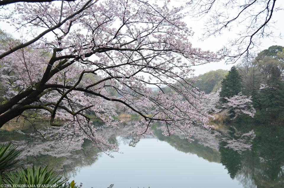 2017三ツ池公園の桜1-THE YOKOHAMA STANDARD