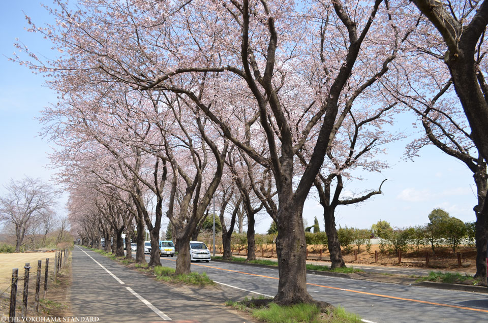 2017海軍道路の桜1-THE YOKOHAMA STANDARD
