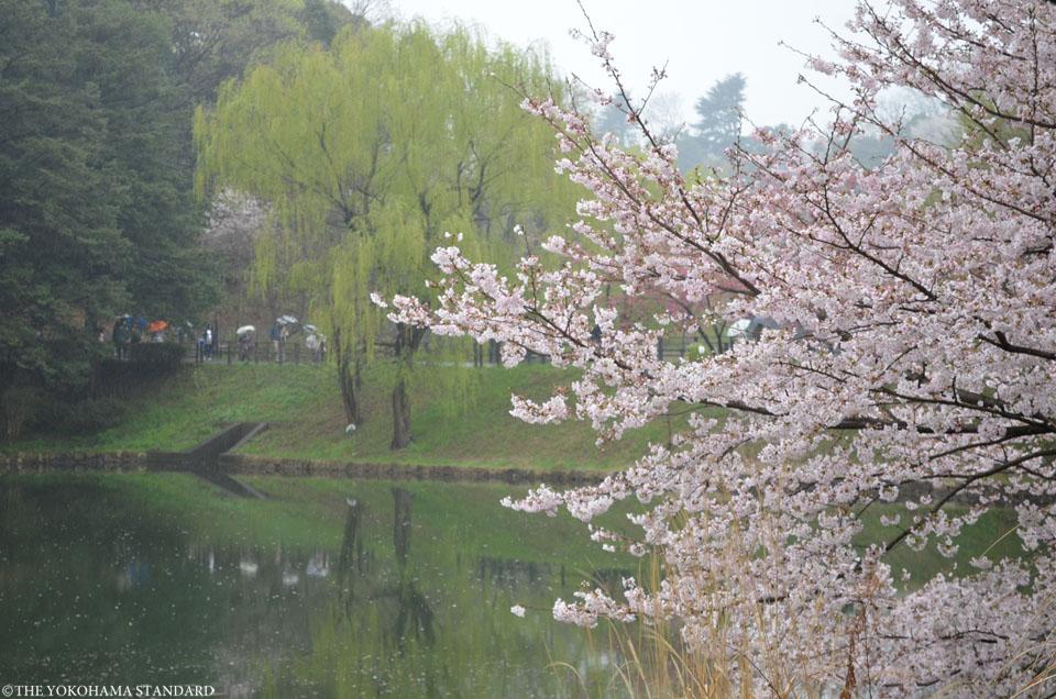 2017三ツ池公園の桜5-THE YOKOHAMA STANDARD