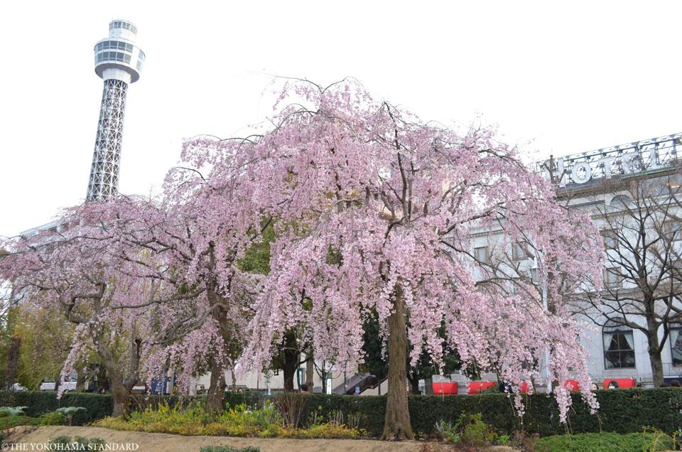 2017山下公園の枝垂れ桜-THE YOKOHAMA STANDARD
