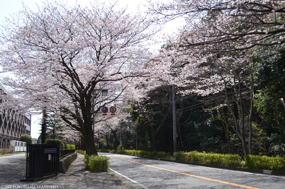 2017野境道路の桜8-THE YOKOHAMA STANDARD