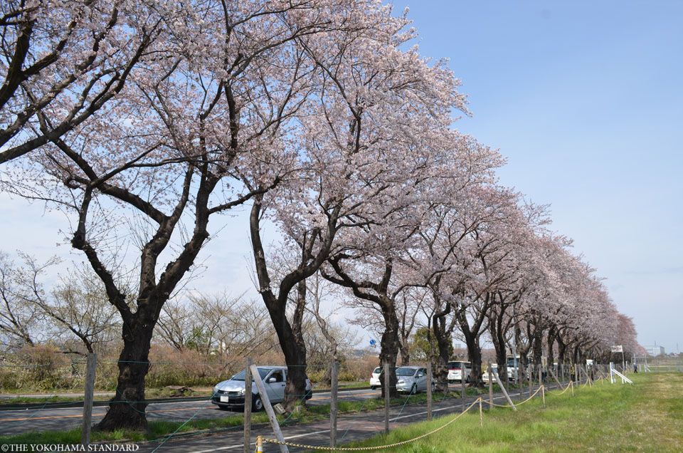 2017海軍道路の桜8-THE YOKOHAMA STANDARD