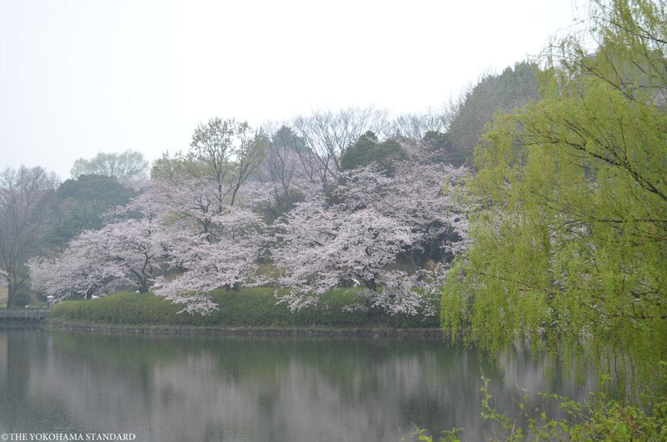 2017三ツ池公園の桜7-THE YOKOHAMA STANDARD