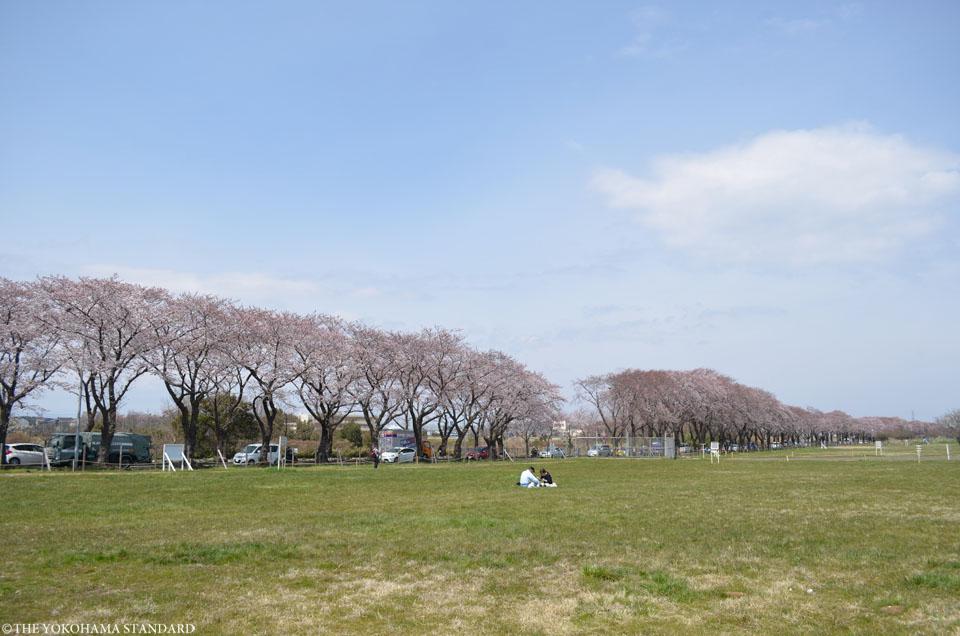2017海軍道路の桜6-THE YOKOHAMA STANDARD