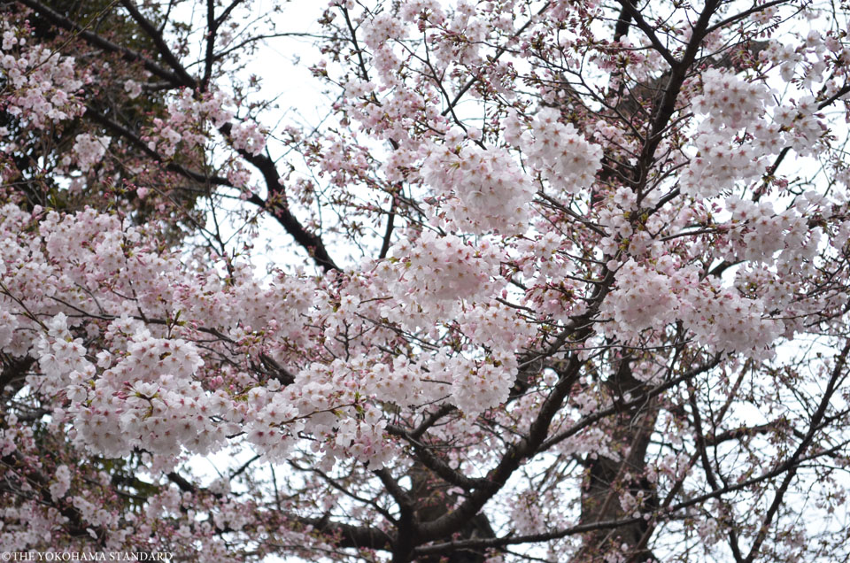 2017元町公園の桜7-THE YOKOHAMA STANDARD