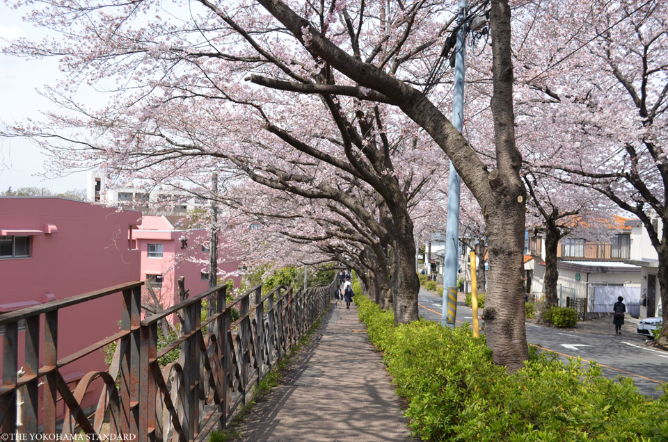 2017野境道路の桜3-THE YOKOHAMA STANDARD