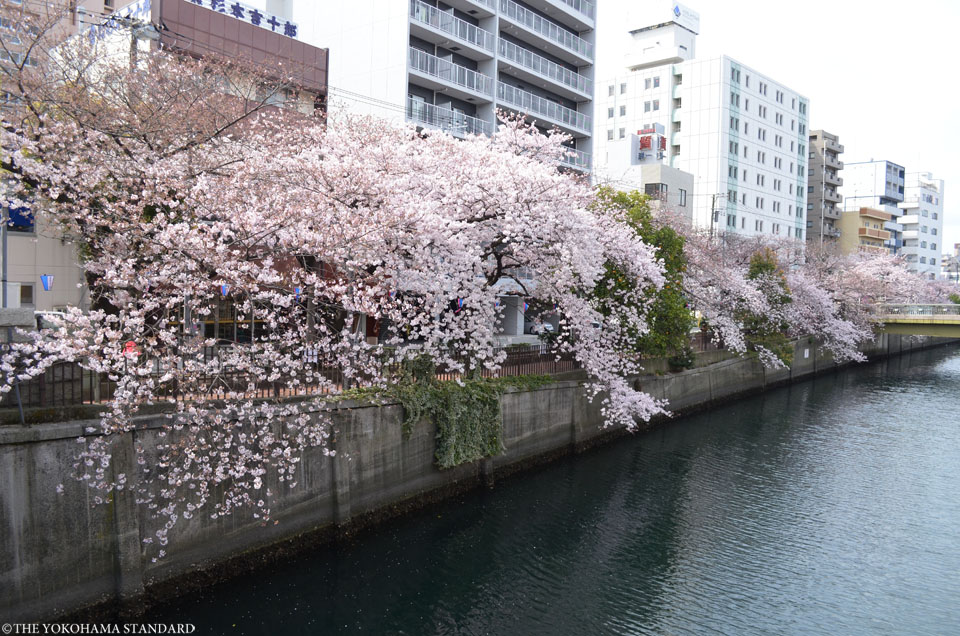 2017大岡川の桜15-THE YOKOHAMA STANDARD