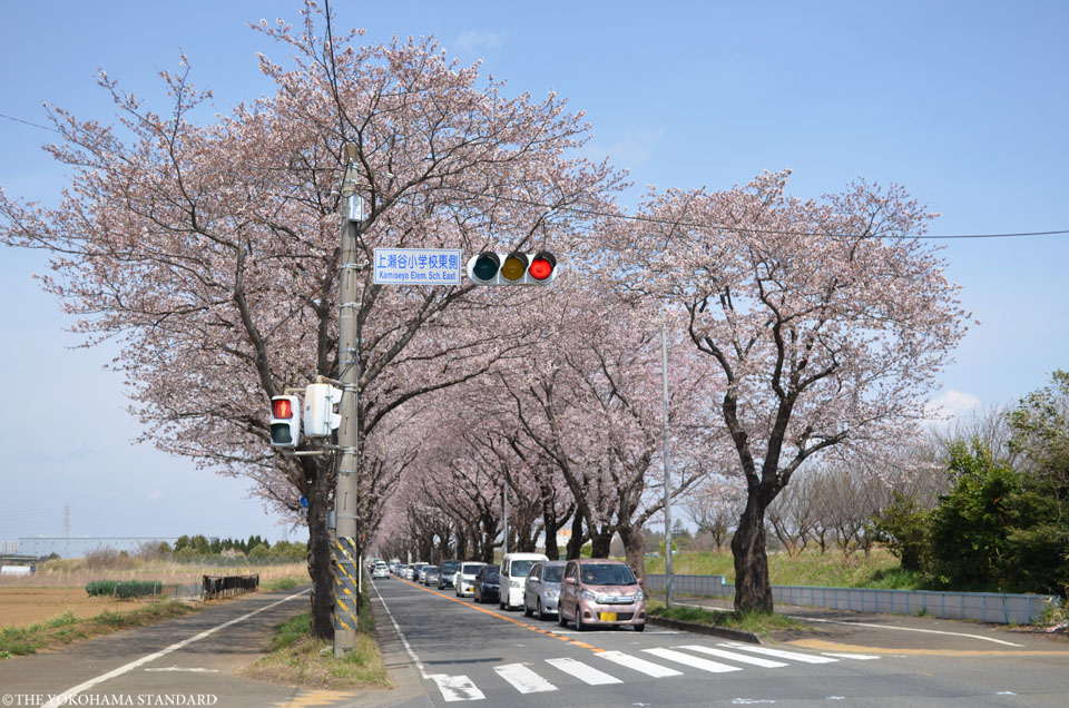 2017海軍道路の桜2-THE YOKOHAMA STANDARD