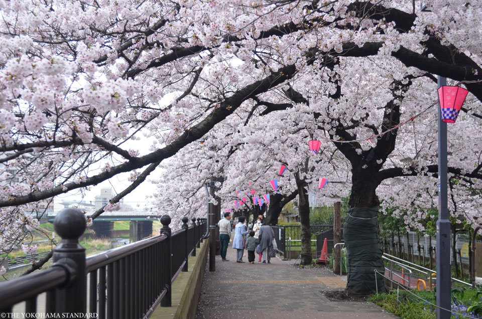 2017柏尾川の桜6-THE YOKOHAMA STANDARD