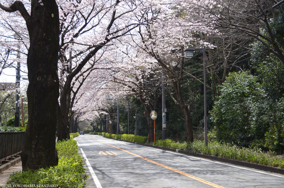 2017野境道路の桜7-THE YOKOHAMA STANDARD