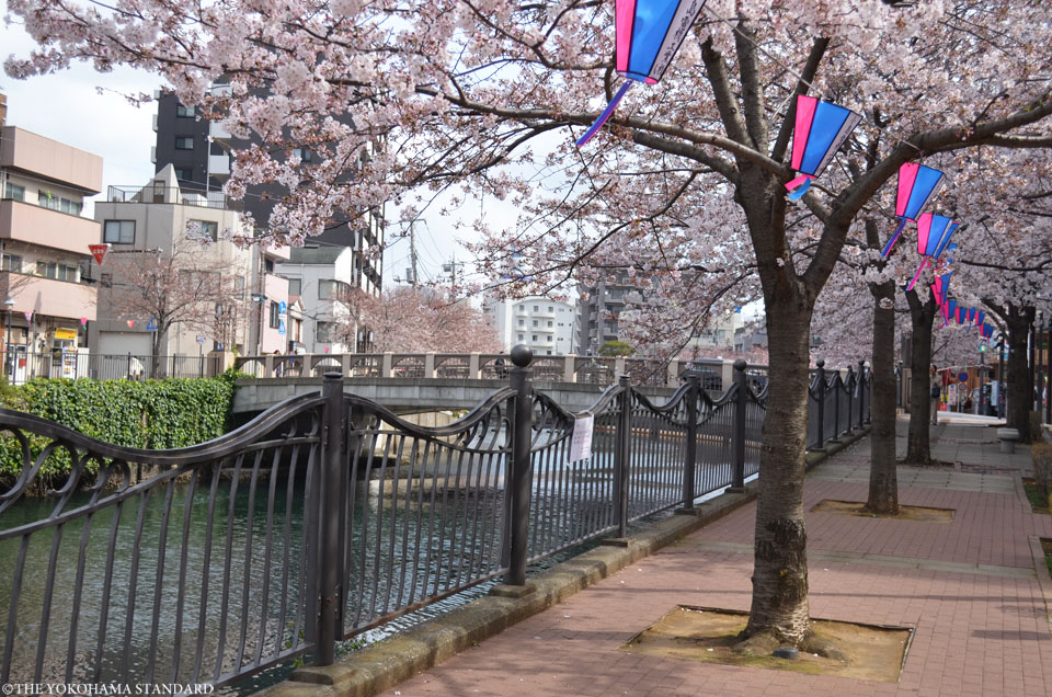 2017大岡川の桜16-THE YOKOHAMA STANDARD