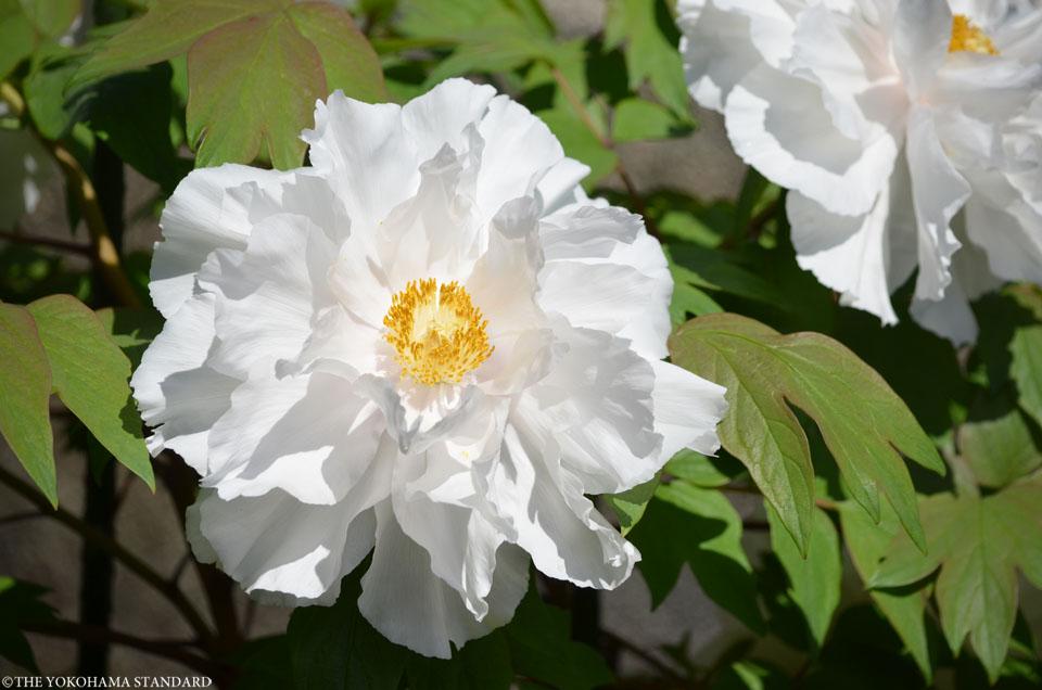 2017龍華寺の牡丹2-THE YOKOHAMA STANDARD