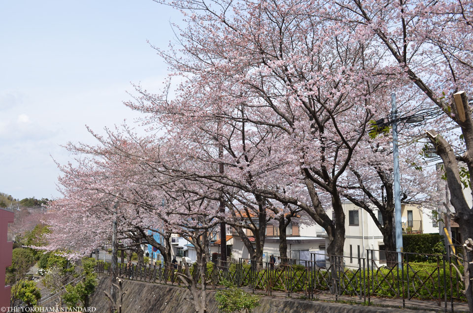 2017野境道路の桜2-THE YOKOHAMA STANDARD