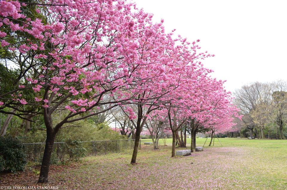 2017本牧山頂公園の桜1-THE YOKOHAMA STANDARD