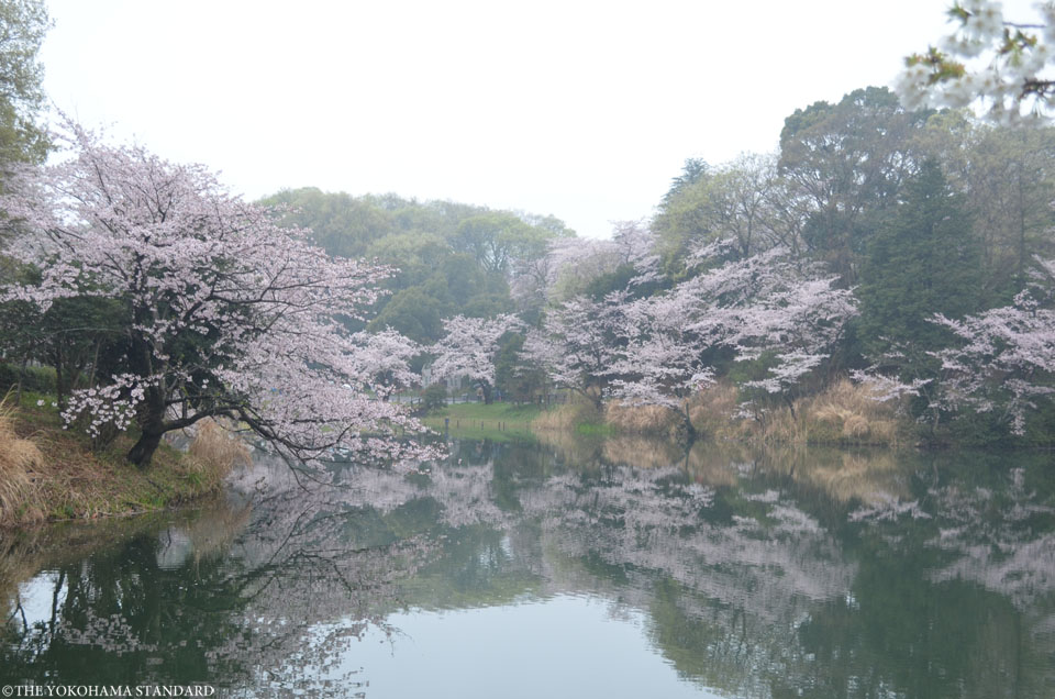2017三ツ池公園の桜13-THE YOKOHAMA STANDARD