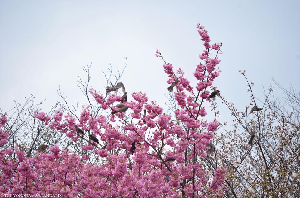 2017本牧山頂公園の桜4-THE YOKOHAMA STANDARD
